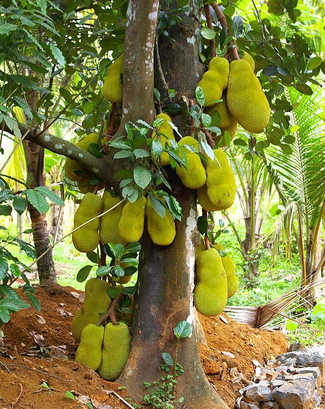 Do tree roots always grow downwards? Jackfruit